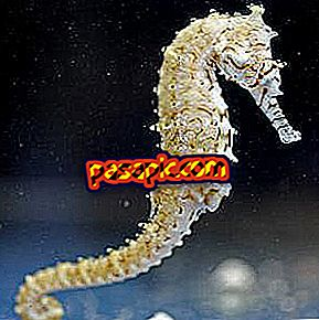 How is the seahorse