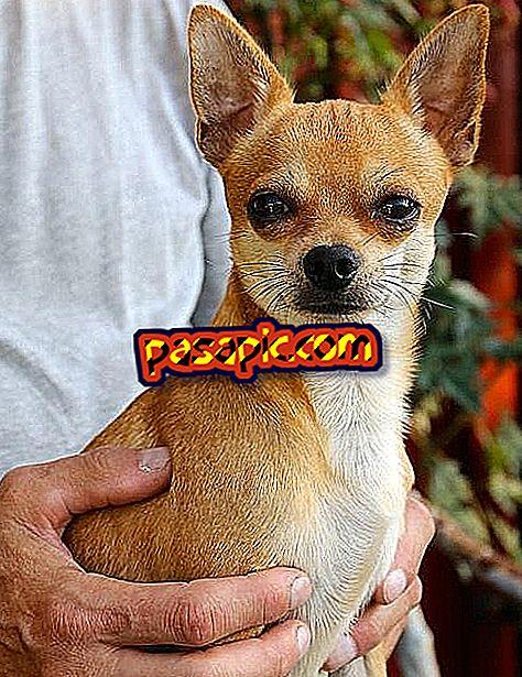 Berapa Ukuran Anjing Chihuahua