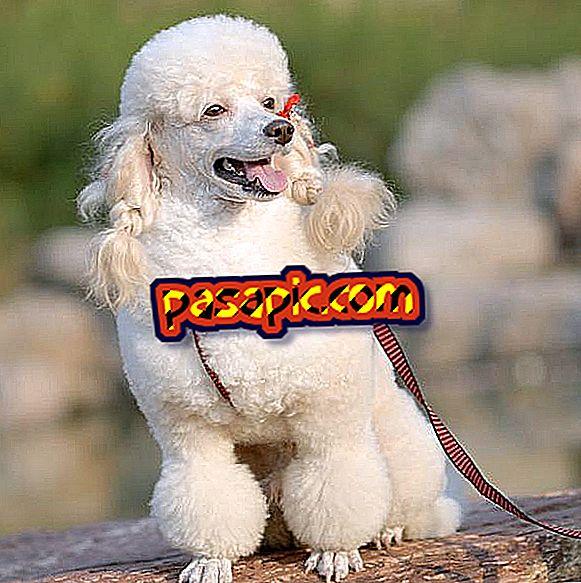 プードル犬の体重はいくらですか