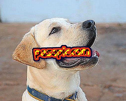 Hvor meget en Labrador hund skal veje