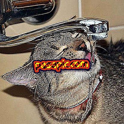 Koliko vode mačka treba piti dnevno