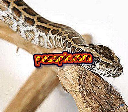 Bagaimana untuk memberi makan ular