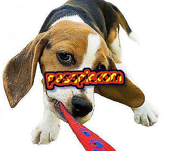Kuidas hoolitseda beagle koera eest