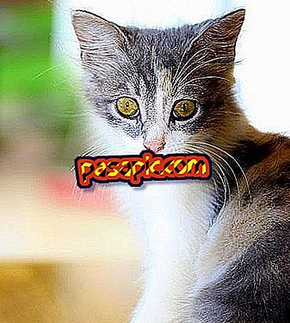 Sådan pleje en kat med distemper