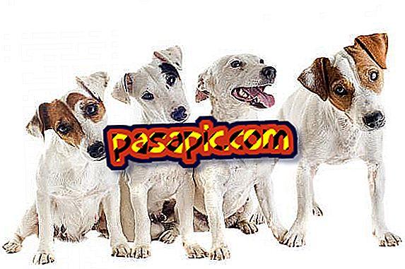 ジャックラッセルテリア犬を訓練する方法