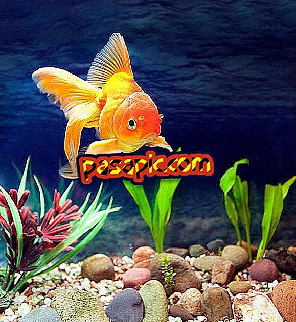 Hva er den beste fisken som renser akvariet mitt?