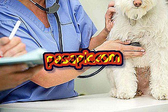 Edema polmonare nei cani: sintomi e trattamento