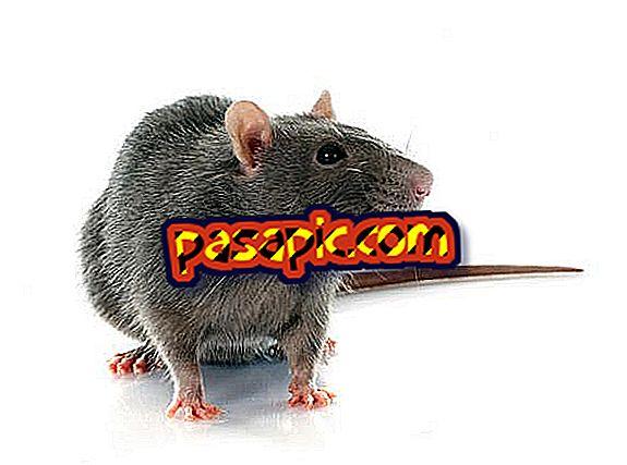 Kako se brinuti za štakora