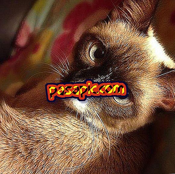 Kako je siamska mačka