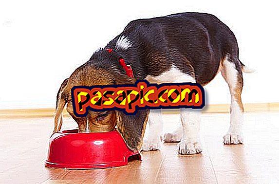 Kaip maitinti sterilizuotą šunį