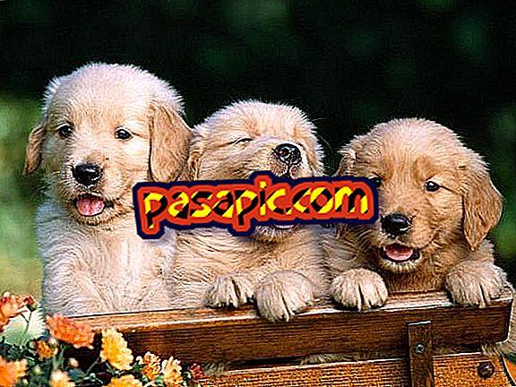 Koliko štenaca može biti zlatno
