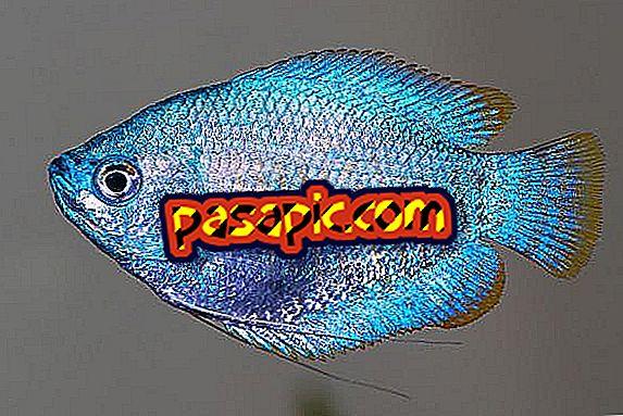 Cura del pesce gurami