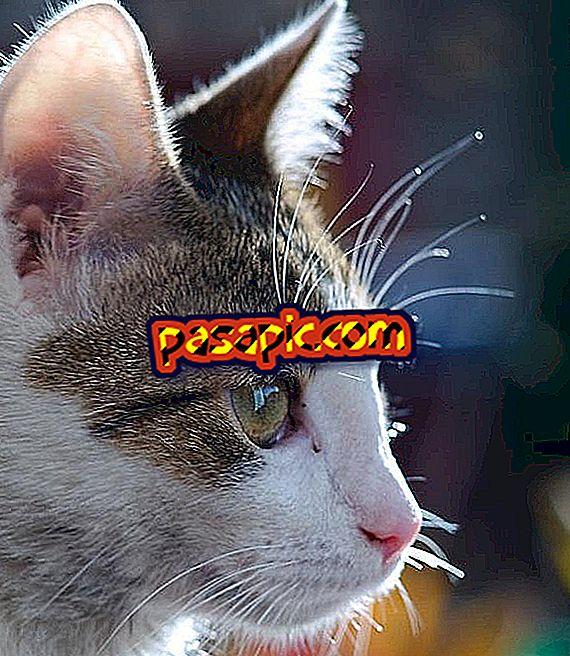 Kako očistiti uši mačke