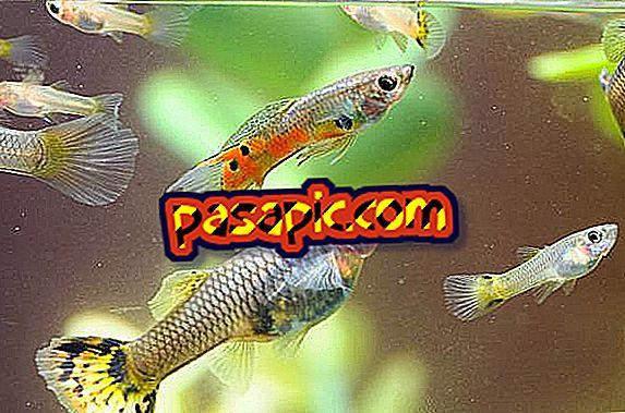 Hvordan vite om fisken min er gravid