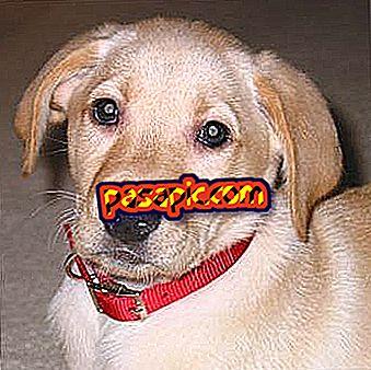 Kā izvēlēties vislabāko kaklarotu manam sunim