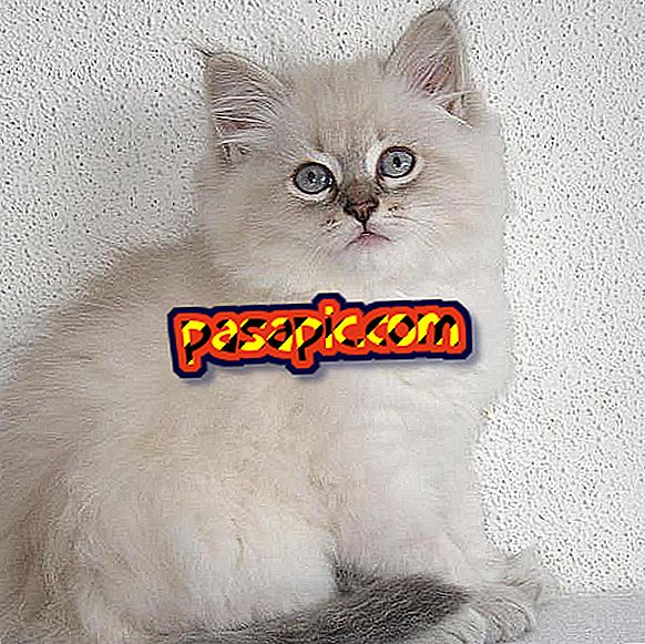 How is a Siberian cat