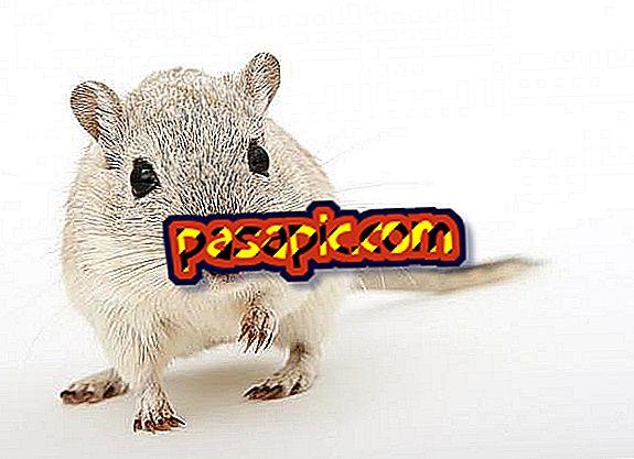 Kaip sužinoti, ar mano žiurkėnai turi blusų